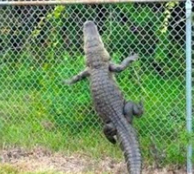 climbing alligator
