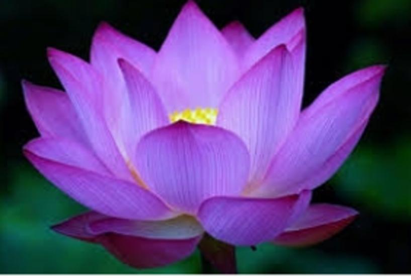 crown lotus